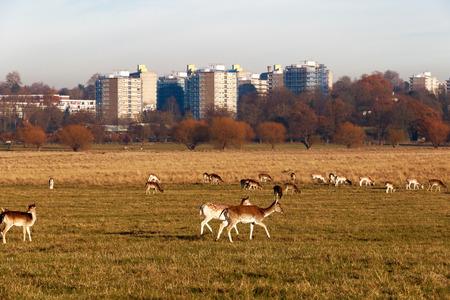 리치몬드 공원, 런던에있는 휴 경지 사슴 스톡 콘텐츠