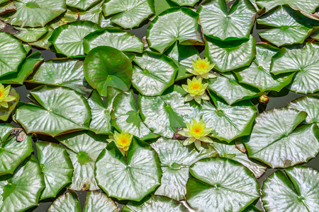Pond covered by water lily leaves and flowers in London