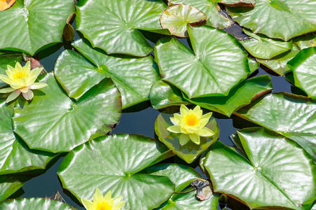 Pond covered by water lily leaves and flowers on Thames Path in Wapping, London
