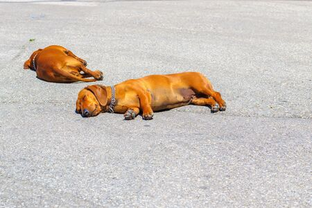 Two dachshund dogs sleep on a tarmac street in hot weather in Pisa, Italy
