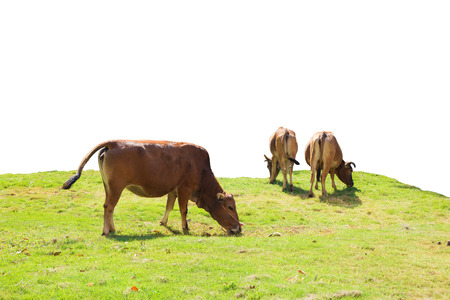cows eating grass photo