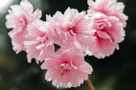 close up of sakura flower photo