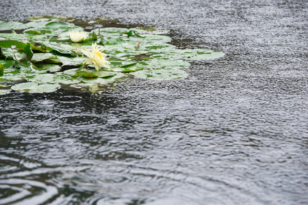 wavelet: water lily in the pool