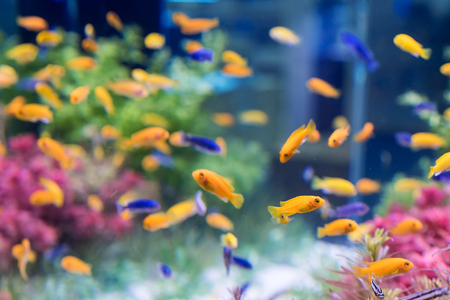 tank fish: tropical fishes Stock Photo