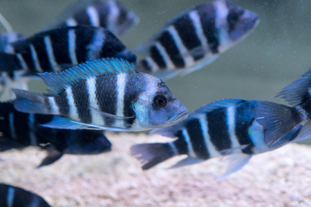 cyphotilapia: Humphead Cichlid Stock Photo