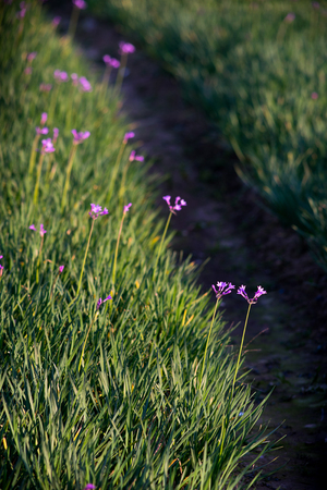 grass plot: lawn with little purple flowers Stock Photo
