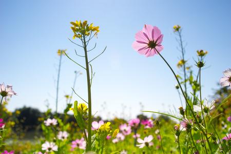 cielo despejado: Cierre hasta flor del cosmos