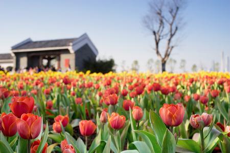 tulipan: tulipan pola przed domem Zdjęcie Seryjne