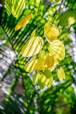 ebony: mountain ebony leaves Stock Photo