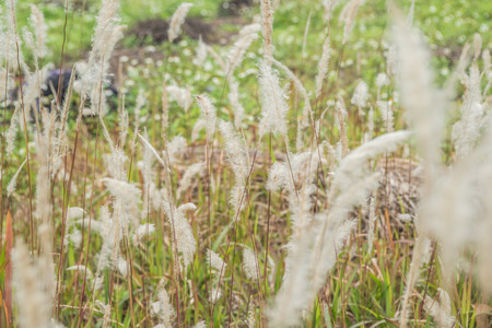 phragmites: reeds background Stock Photo