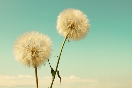 Abstract dandelion flower background, extreme close up with soft focus, beautiful nature details photo