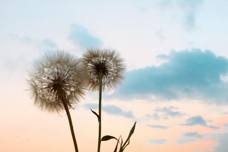 추상 민들레 꽃 배경, 극단적 인 소프트 포커스, 아름 다운 자연 세부 닫습니다
