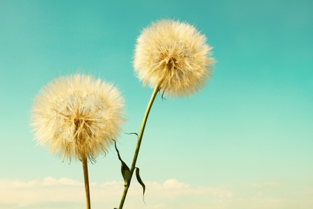 airy texture: Abstract dandelion flower background, extreme close up with soft focus, beautiful nature details