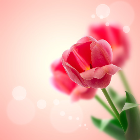 Red tulips flowers isolated on beautiful background. photo
