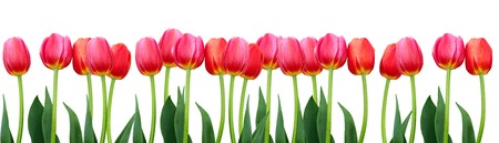 Groep bloemen rode tulpen geïsoleerd. Panorama. Lente landschap