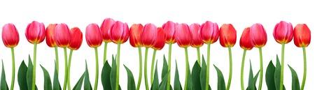 Gruppe Blumen rote Tulpen. Panorama. Frühlingslandschaft