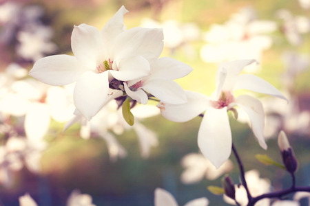 Spring. Magnolia flowers close up in park photo