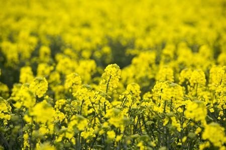 rapeseed: rapeseed, field Stock Photo