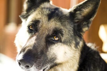 glance: shepherd dog close up glance Stock Photo