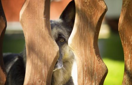 shepherd dog guarding private territory, trespass prohibited Stock Photo - 23130998