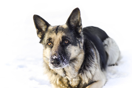 alsation: shepherd dog laying in the snow ready to attack, outdoor shot