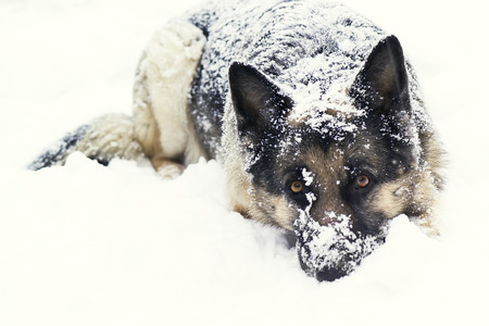 nice image of a shepherd dog laying on the snow
