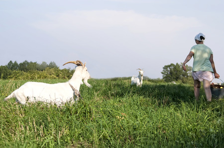 feeding through: Feeding time, woman walking through a field to her goats