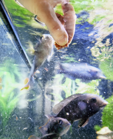 cichlids: Human hand feeding fish in a water tank, close up shot with blurred motion