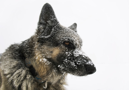 snow storm: Portrait of a shepherd dog with the thoughtful look, shot outdoors in a snow storm