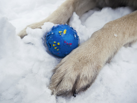 paw smart: Close up of two dog paws and blue ball between them, outdoor winter shot