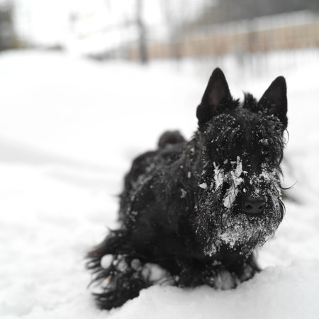 street wise: Scottish terrier standing in the snow, winter urban scene with shallow DOF Stock Photo