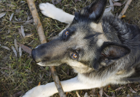 guarding: Overhead shot of a shepherd dog guarding his toy, wooden stick, outdoor shot with selective focus Stock Photo