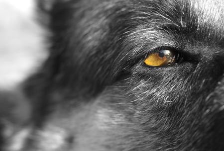 accent: Macro shot of a dogs eye, black and white shot with a color accent on eye