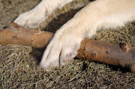 Closeup of two strong dog paws over wooden stick, outdoor horizontal shot Stock Photo