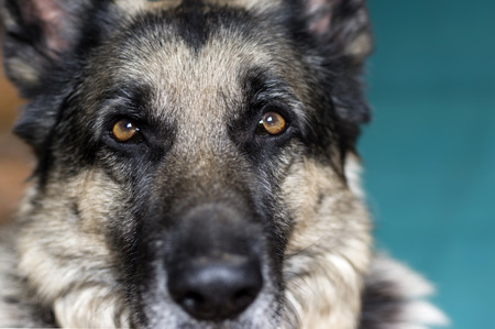 shepherd dog: Portrait of a serious shepherd dog, looking straight at the camera. Indoor shot with a shallow depth of field