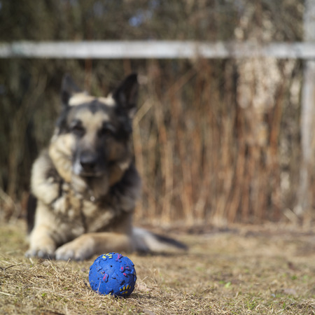 paw smart: Favorite toy, ball, in the foreground, shepherd dog watching it in the blurred background Stock Photo