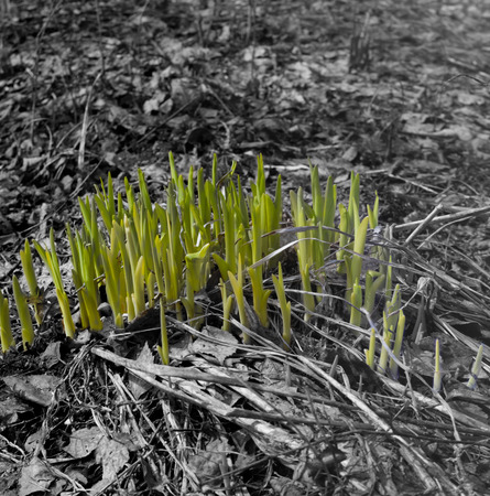 accent: Springtime sprouts growth, digitally altered image with color accent on object, the rest converted in black and white