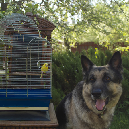 differential focus: Bird cage with a small yellow budgie and a shepherd dog in the background, differential focus outdoor shot