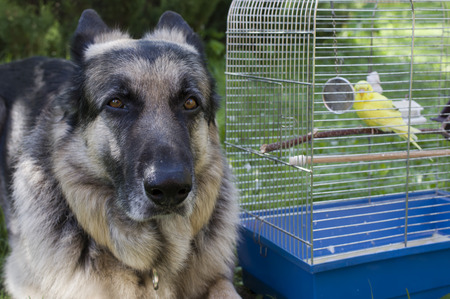 shepherd dog: Big shepherd dog posing near a bird case with a small yellow parrot