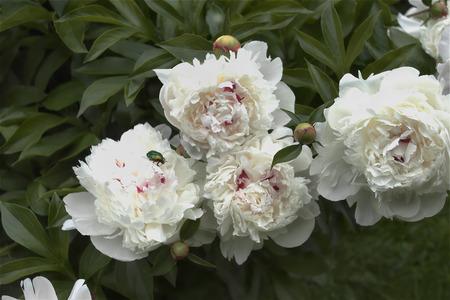 outdoor shot: Bunch of beautiful white peonies closeup outdoor shot Stock Photo