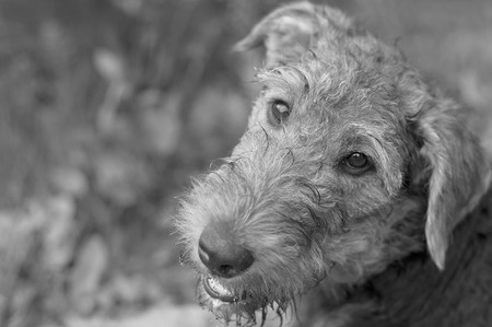 head tilted: Portrait of a exhausted young airedale with tilted head in black and white