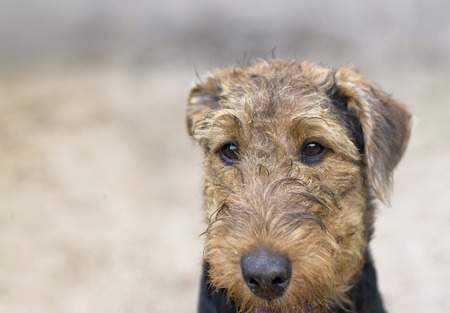 indifferent: Head of an aitdale terrier with indifferent gaze, outdoor horizontal shot with shallow depth of field
