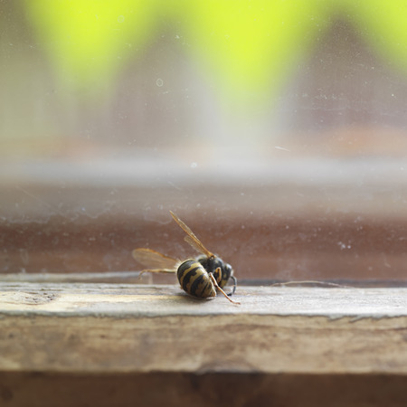 window sill: Dead wasp, bee killer, on a window sill, next to window glass, indoor shot with shallow depth of field
