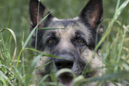 gaze: Attentive gaze of a hunting dog, hiding in a grass, outdoor shot with shallow depth of field