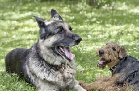 airedale: Big shepherd dog and little airadale terrier lying down in a garden, high key shot