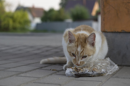 street wise: Stray red cat eating leftovers on the street, closeup outdoor shot with blurred background