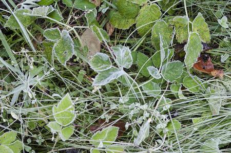 season specific: Closeup of frozen plants, concept of season specific