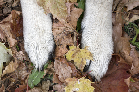 Paws of a dog on autumn coloured leaves, overhead shot