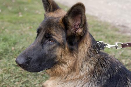 restraining: Headshot of young shepherd dog restraining on the leash, outdoor horizontal shot