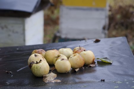 drizzling rain: Apples on a beehive in focus, garden in the blurred background on a drizzly autumn day Stock Photo
